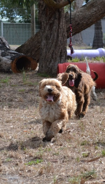 Banksia Park Puppies Widget