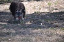 Banksia Park Puppies_Fidget