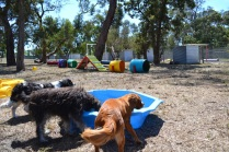 Banksia Park Puppies_Fin