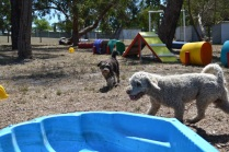 Banksia Park Puppies_Gus