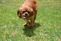 Banksia Park Puppies_Harriett