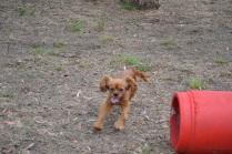 Banksia Park Puppies_Hermione