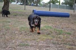 Banksia Park Puppies_Mischief