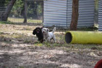 Banksia Park Puppies_Pinky and Saki 6