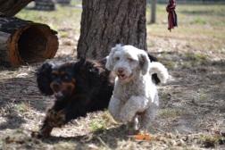 Banksia Park Puppies_Saki