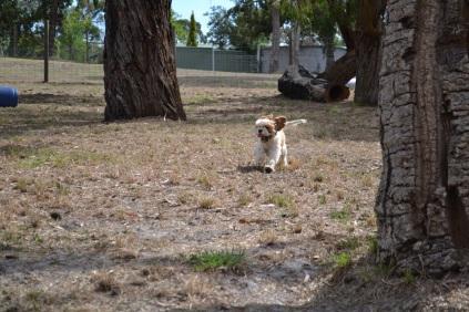 Banksia Park Puppies_Posy