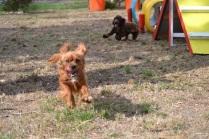 Banksia Park Puppies_Potsy