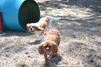 Banksia Park Puppies_Prini and Solo