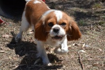Banksia Park Puppies_Prini and Solo