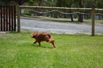 Banksia Park Puppies_Reno