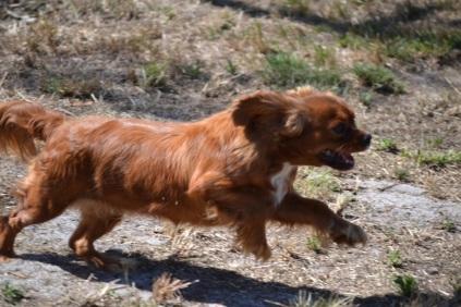 Banksia Park Puppies_RhondaBanksia Park Puppies_Rhonda