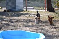 Banksia Park Puppies_Rhonda