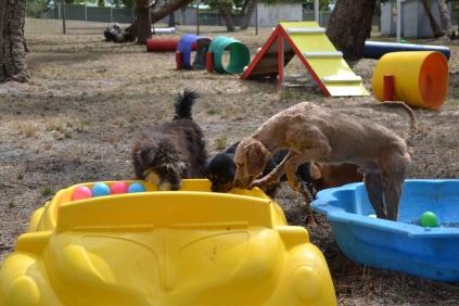 Banksia Park Puppies_Finley