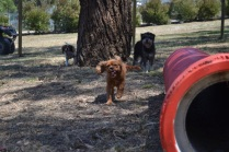 Banksia Park Puppies_Solo