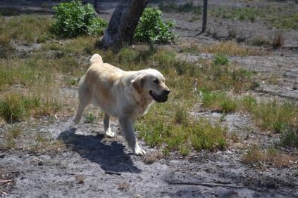 Banksia Park Puppies_Tabitha