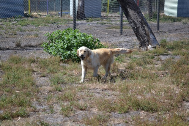 Banksia Park Puppies_Tabitha