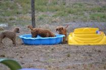 Banksia Park Puppies_Tobasco
