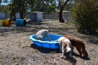Banksia Park Puppies_ Tia