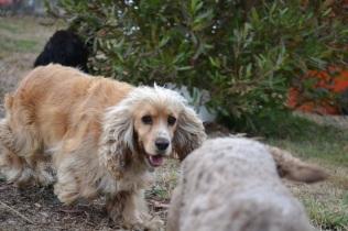 Banksia Park Puppies_ Violet