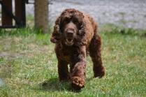Banksia Park Puppies_Wookie