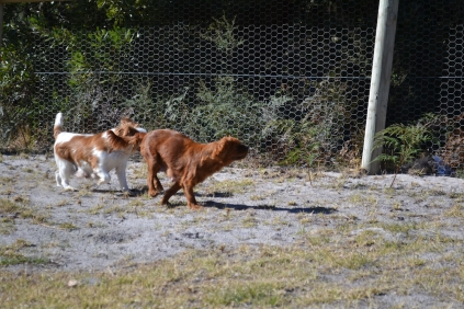 Oddball- Banksia Park Puppies - 15 of 33