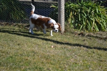 Oddball- Banksia Park Puppies - 20 of 33