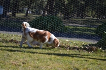 Oddball- Banksia Park Puppies - 31 of 33