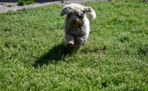 Saki-Poodle-Banksia Park Puppies - 1 of 22