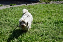 Saki-Poodle-Banksia Park Puppies - 2 of 22
