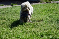Saki-Poodle-Banksia Park Puppies - 3 of 22