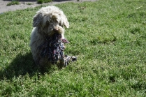Saki-Poodle-Banksia Park Puppies - 5 of 22
