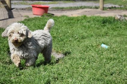 Saki-Poodle-Banksia Park Puppies - 8 of 22