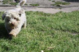 Saki-Poodle-Banksia Park Puppies - 9 of 22