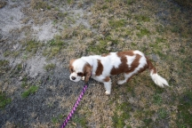 Sylvie-Cavalier-Banksia Park Puppies - 1 of 27