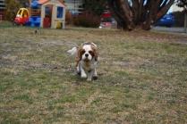 Sylvie-Cavalier-Banksia Park Puppies - 10 of 27