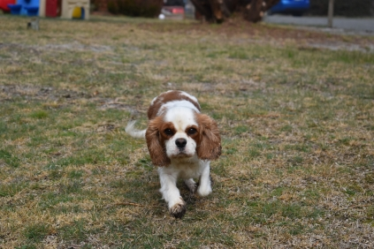 Sylvie-Cavalier-Banksia Park Puppies - 11 of 27