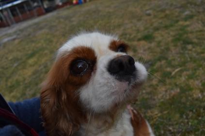 Sylvie-Cavalier-Banksia Park Puppies - 14 of 27