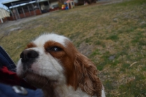 Sylvie-Cavalier-Banksia Park Puppies - 16 of 27