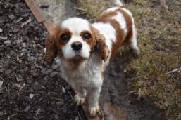 Sylvie-Cavalier-Banksia Park Puppies - 17 of 27