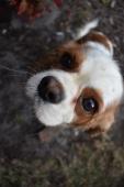 Sylvie-Cavalier-Banksia Park Puppies - 18 of 27