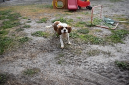 Sylvie-Cavalier-Banksia Park Puppies - 19 of 27