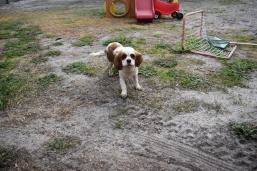 Sylvie-Cavalier-Banksia Park Puppies - 19 of 27