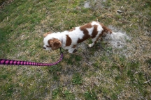 Sylvie-Cavalier-Banksia Park Puppies - 2 of 27
