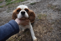 Sylvie-Cavalier-Banksia Park Puppies - 20 of 27