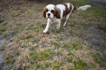Sylvie-Cavalier-Banksia Park Puppies - 21 of 27