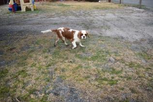Sylvie-Cavalier-Banksia Park Puppies - 23 of 27