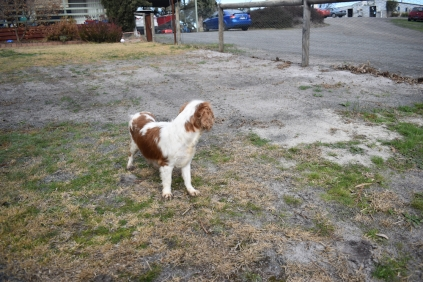 Sylvie-Cavalier-Banksia Park Puppies - 25 of 27