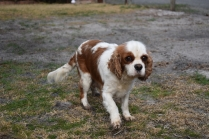 Sylvie-Cavalier-Banksia Park Puppies - 26 of 27
