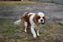 Sylvie-Cavalier-Banksia Park Puppies - 26 of 27