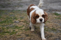 Sylvie-Cavalier-Banksia Park Puppies - 27 of 27
